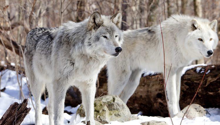4 wolven ritueel Ahamkara Zennergi