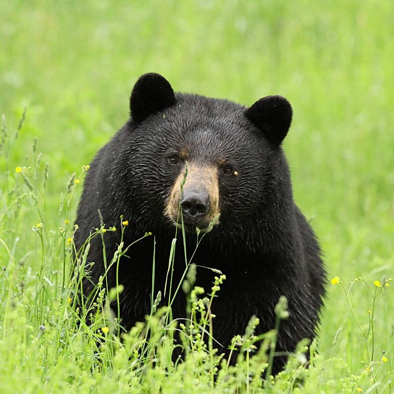 bear.µ